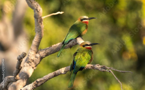 Two white fronted bee eaters are perched on an old tree in close up. The bee eater lives in southern africa.