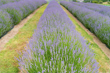 Lavender field full bloom condition in a role, natural landscape background