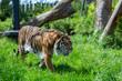 Prowling Sumatran Tiger