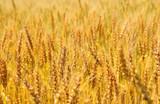 Golden wheat ears on field - 212413766