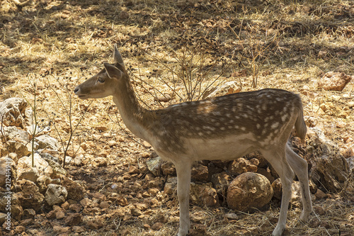 Plexiglas Hert Wild animals. Female spotted deer in its natural habitat