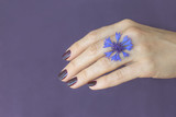Close up of a flower cornflower on a woman's hand. Purple background.