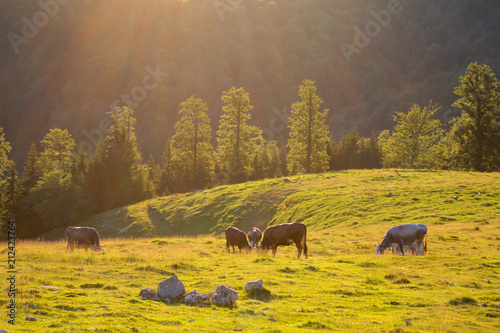 Fotobehang Honing Summer view of the meadow, at sunset. Summer countryside scene with grazing cows. Agricultural scene