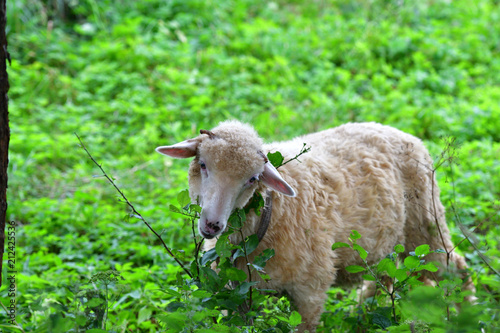 baby sheep lamb grazing the grass and leafs - 212425536