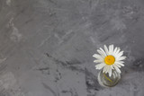 one daisy on a gray concrete background. minimalism