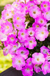 Leinwanddruck Bild - Beautiful pink petunia flowers (Petunia hybrida) in garden