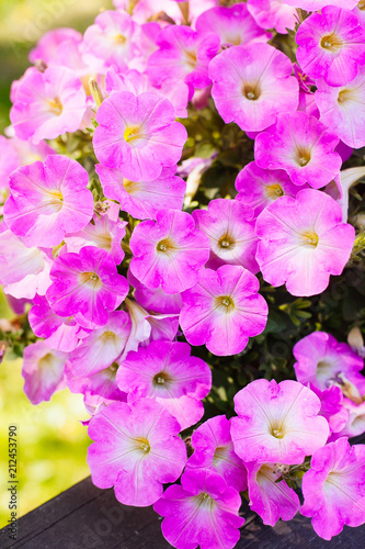 Leinwanddruck Bild Beautiful pink petunia flowers (Petunia hybrida) in garden
