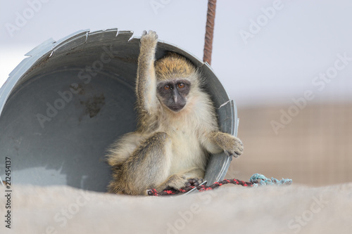 Fotobehang Aap Monkey on the beach
