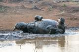 Rhino+mudbath - 212457573