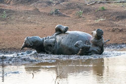 Fotobehang Neushoorn Rhino+mudbath