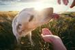 Thirsty dog at sunset