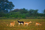 The blackbuck, also known as the Indian antelope, is an antelope found in India, Nepal and Pakistan. The blackbuck is the sole extant member of the genus Antilope - 212471780