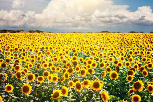 Plexiglas Geel Beautiful field of sunflowers. Rural landscapes under bright sunlight. Background of ripening sunflower. Rich harvest.