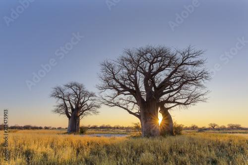 Fotobehang Baobab Sun starburst at baobab tree