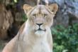 Löwin Portrait (Panthera leo)