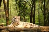 The King White Tiger