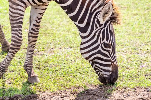 Zebra head eating grass on the ground
