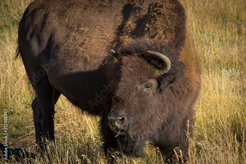 Fotobehang Bison Bison roaming Grand Teton National Paark
