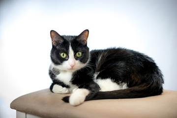 Black and White Tuxedo Cat Pet Portrait