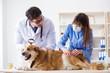 Leinwanddruck Bild - Doctor and assistant checking up golden retriever dog in vet cli