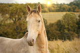 Portrait of a horse outdoor on a field in summer  - 212507775