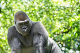 Typical Western Lowland Gorilla among leafy trees.  - 212514916