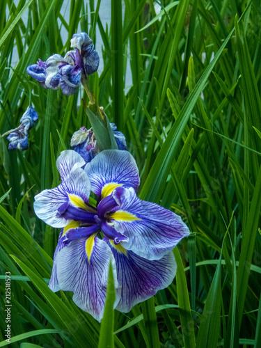 Fotobehang Iris Deep Blue and Yellow Petals on a Walking Iris Flower in a Garden Setting