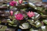 Blooming pink lotus - 212532391