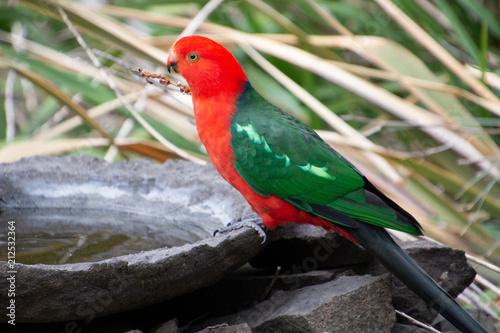 Fotobehang Papegaai Male King Parrot and Bird Bath