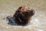 Brown bear in a water - 212541531