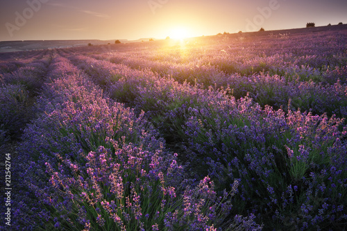 Canvas Aubergine Meadow of lavender at sunset.