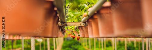 fresh organic strawberries growing on the farm