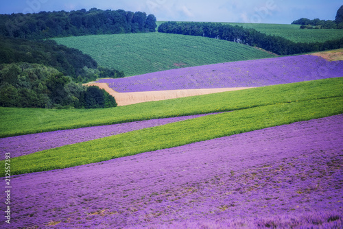 Spacious fields of lavender lavender and green fields, geometric forms. Farm fields in a summer sunny day. Flowering lavender fields view from the top into the distance.