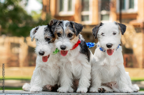 cute puppy jack russel terrier walk and play in the park - 212561306