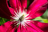 macro of a beautiful Red Passion clematis pistils and flowers - 212562167