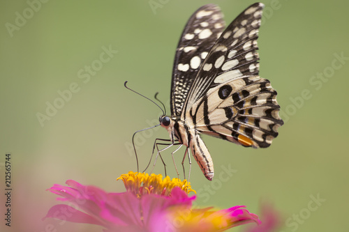 Closeup Butterfly and Flowers. - 212565744