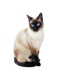 beautiful siamese cat isolated on white background - 212567128