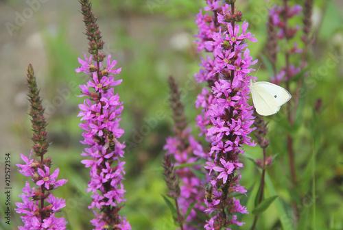 biały motyl biały (Pieris) żywi się kwitnącym fioletowym krwawieniem