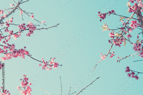 Fototapeta blossom apple trees on background sky