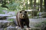 Braunbär (Ursus arctos) auf Nahrungssuche - 212586107
