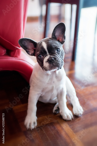 Foto Spatwand Franse bulldog French bulldog puppy sitting at home