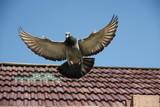 Gołąb w locie z rozłożonymi skrzydłami