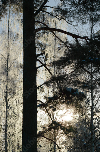 white frost on tree at sunny finnish winter day - 212592384