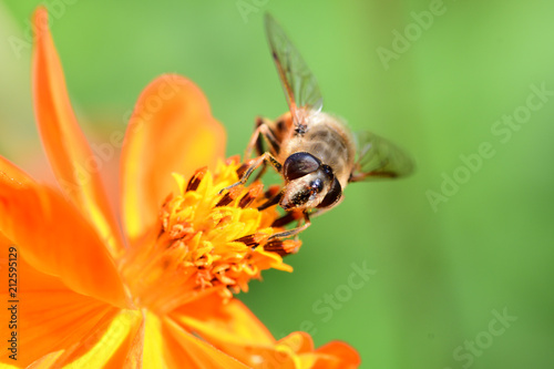Bee on an orange coreopsis - 212595129