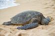 An endangered Hawaiian green sea turtle resting on a beach on Oahu.
