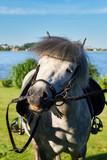 Gray pony horse. - 212596369