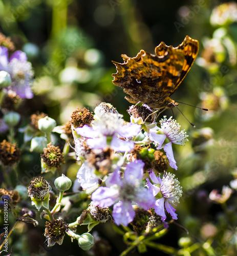 Comma Butterfly (Nymphalis c-Album) - 212598537