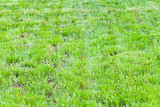 Just trimmed lawn with green grass - 212599347