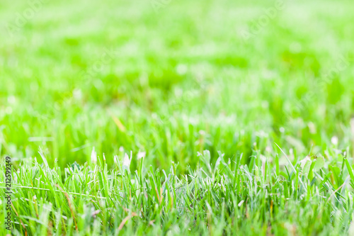 Fresh green grass of just trimmed lawn - 212599349