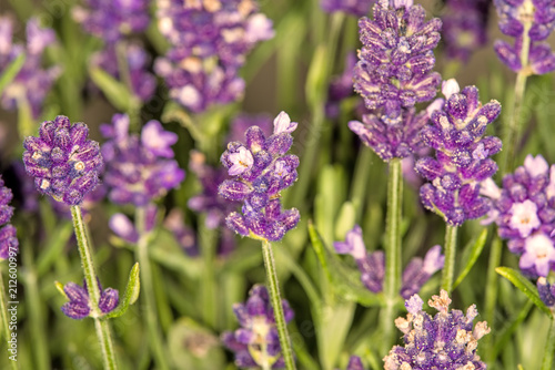 lavender, flower of the medicinal herb